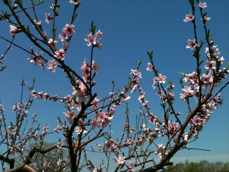 Bishops Orchard - the peaches in bloom